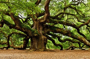 mystical-angel-oak-tree-louis-dallara
